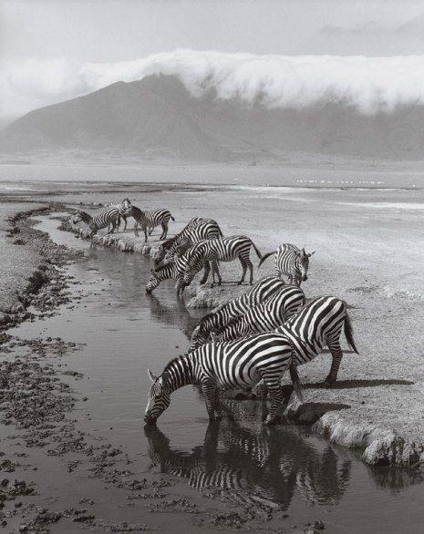 Zebras, Ngorongoro Crater, Tanzania, by Cathrine Wessel: