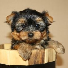 Yorkshire Terrier Puppies for Sale | PuppySpot   – Yorkie