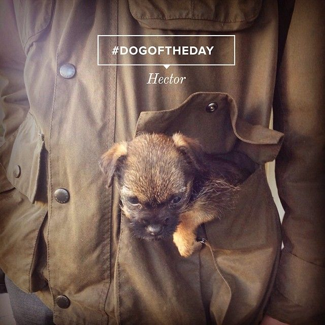 #DogOfTheDay: Sarah found her pockets to be the perfect size for her Border Terrier, Hector. #Padgram