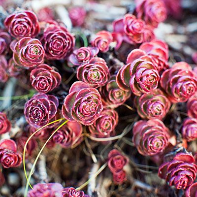 Sedum spurium 'Voodoo' Small, rounded burgundy leaves cover this low-​growing, quick-spreading succulent from the Caucasus. Tiny reddish flowers bloom in summer. Zones 1–10 and 14–24.