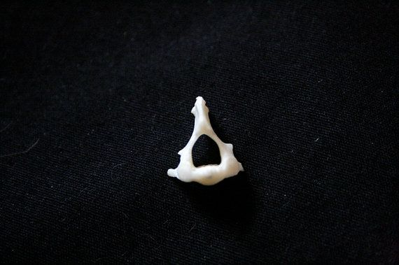 Hey, I found this really awesome Etsy listing at https://www.etsy.com/listing/184426554/x1-muskrat-axis-vertebra-grade-a-3332