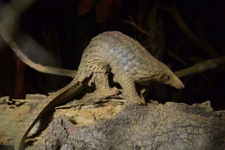 Chinese customs seized over three tonnes of pangolin scales, state media said, in the country's biggest-ever smuggling case involving the animal parts.  Shanghai Customs found around 3.1 tonnes of pangolin scales mixed in with a container of wood products imported from Nigeria, state broadcaster