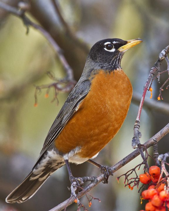The American Robin was the 5th most spotted bird in the Pacific Flyway during last year's Great Backyard Bird Count. Join us this year February 14-17.