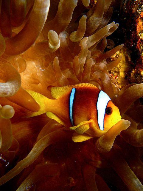 Red Sea Anemone peixe, Ras Mohamad, Egito