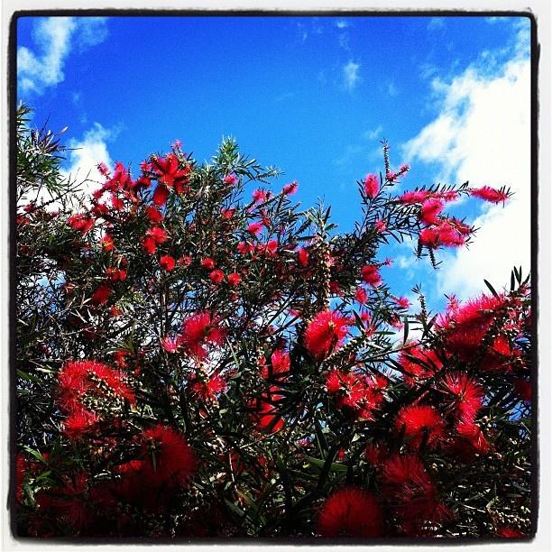 Hello Spring in #Bondi Beach! Gorgeous Red Bottlebrush (Callistemons) lining the streets.