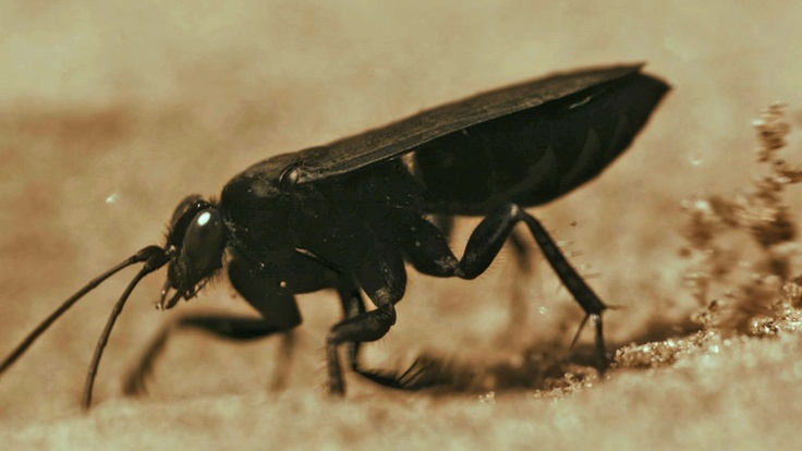 The Pompilid Wasp.