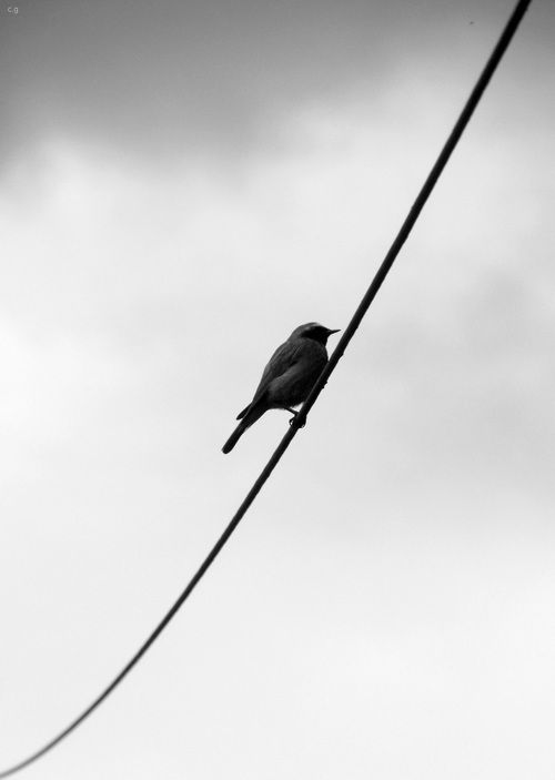 Silver blonde . Photography . Bird . Photo Graph . Black and White . B&W .