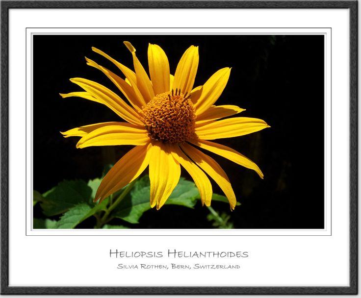 Heliopsis Helianthoides - Garten-Sonnenauge - Smooth Oxeye