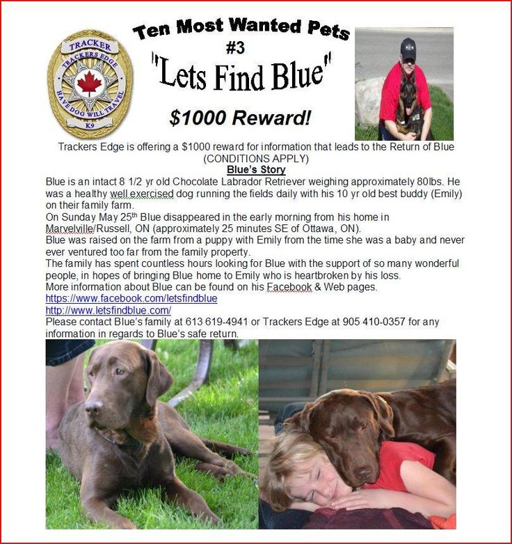Blue missing from Marvelville, Russell, ON since May 2014. Blue an 8 and half year old intact male Chocolate Lab was wearing a camouflage(cameo) collar, not micro-chipped, and no tags.  Blue has wear marks on his front elbows and has a slight limp on his back hind leg when he runs for a bit.  If seen call owner at 613-619-4941, or Tracker's Edge at 905-410-0357.