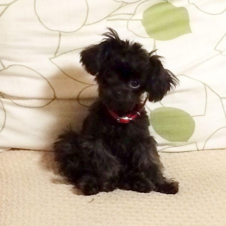 Hello beautiful. I want you..... Chihuahua & poodle mixed