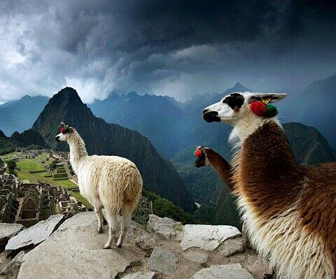 Machu Picchu with Llamas. Why are llamas so funny.......