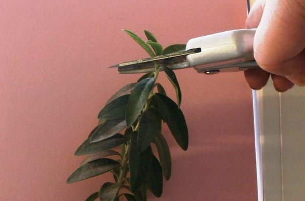 Schneiden Sie die Triebspitze ab, um den Baum zum Verzweigen anzuregen.