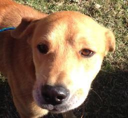 Labrador Retriever Dog For Adoption in Bauxite, AR, USA