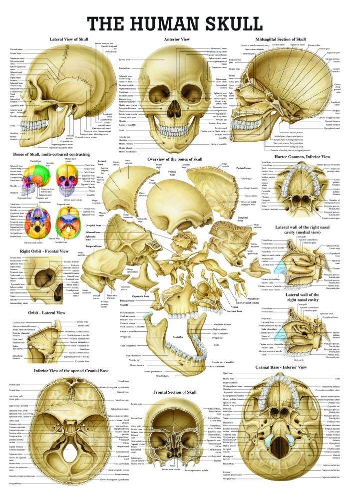 best 20+ human skull anatomy ideas on pinterest | human skull, Human Body