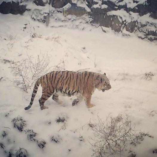 Happy #TigerTuesday! #ComoZoo