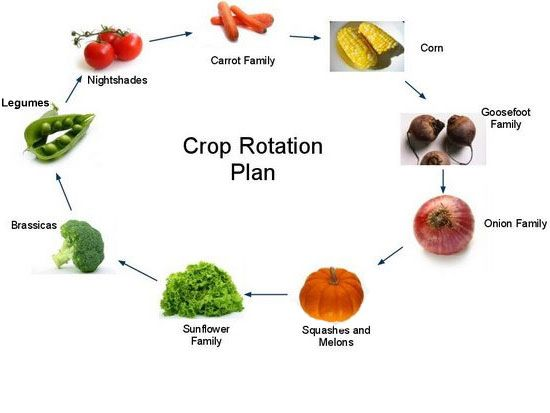 "crop rotation:  planning the garden so last years ""heavy feeders"" get rotated."