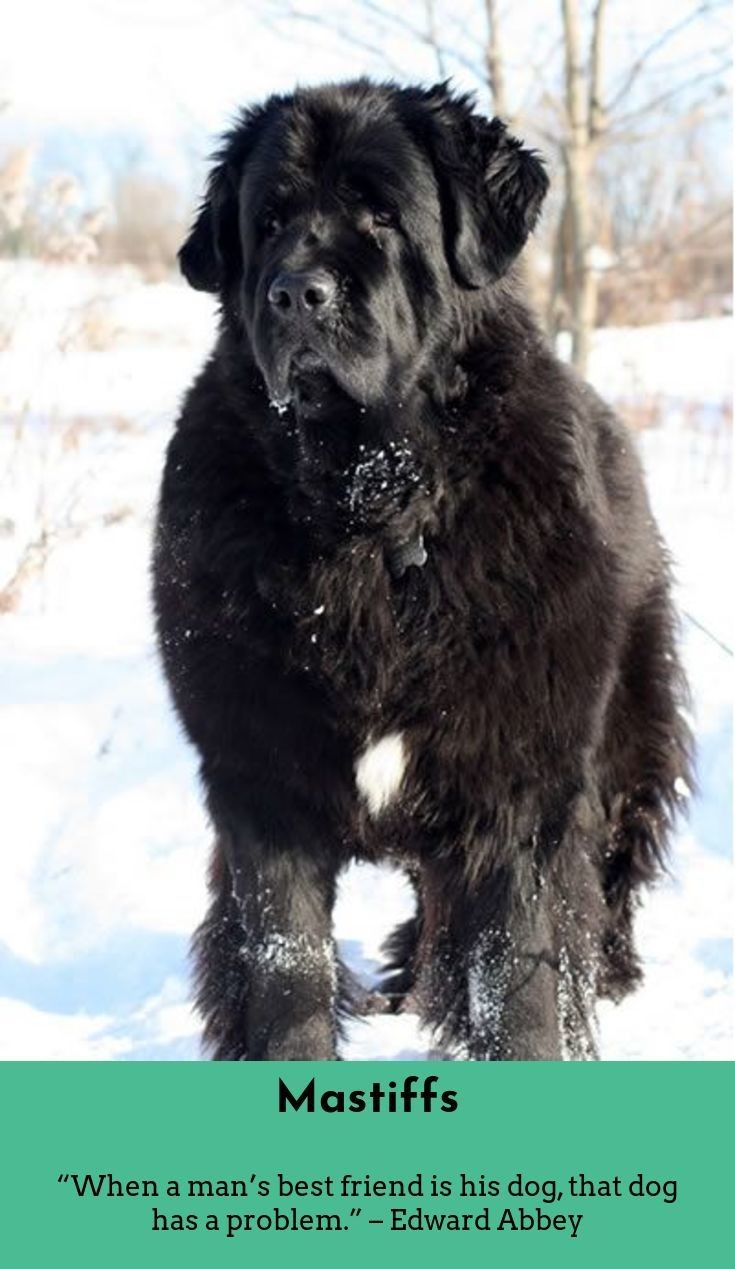 7 Best Dogs Breeds For People Allergies Dogs Big Dogs Newfoundland Dog