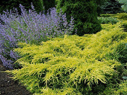 Gold Star Juniper Qty 60 Live Plants Groundcover by JJGardenBoutique on Etsy