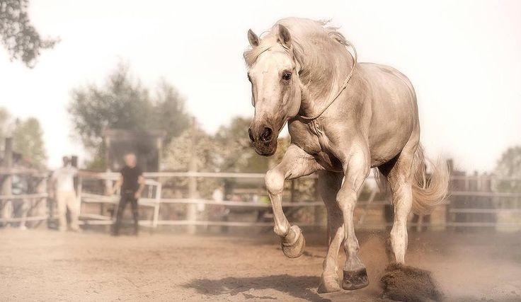 Sergio Rosin - addestramento, allevamento e vendita cavalli Lusitani