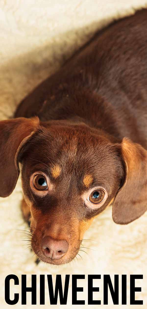 Chiweenie Your Tiny Chihuahua Dachshund Mix Chiweenie Dogs