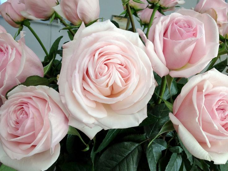 I hope I can find this rose for my garden next year!  Conard-Pyle_Francis-Meilland-as-cut-GVF-Jan12