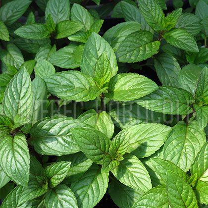 image de Mentha spicata var. piperita