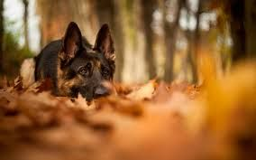Image result for german shepherd wallpaper