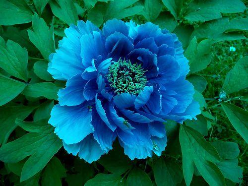 Peonia Blu - Blue Peony | J&Konrad | Flickr