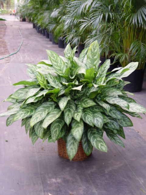 1000 Images About Clean Air Foliage Plants On Pinterest