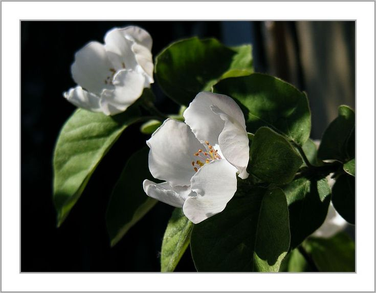 naspolya virág