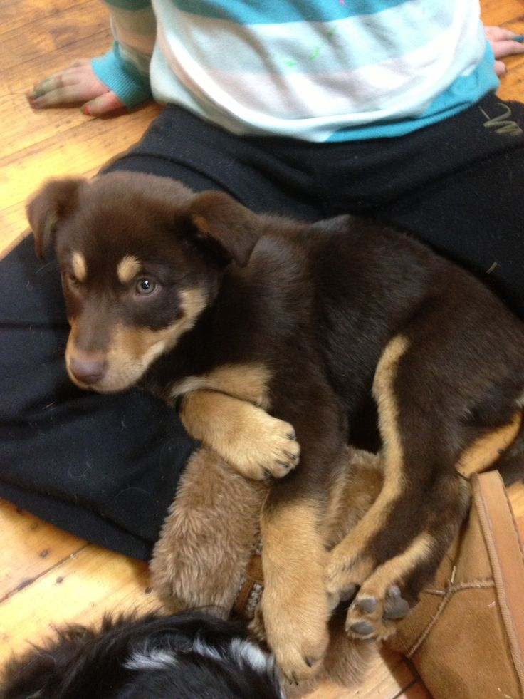 Our newest arrival .. Little Red Kelpie... Exhausted after a day of cuddles at the pet shop