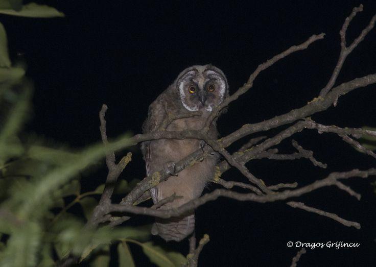 Bufnita, fotografiata noaptea