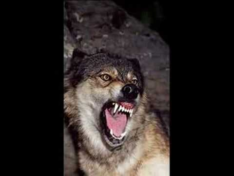 Wolves sounds for Act 4 Sc 1:  Wolf Sounds 2 *Growling*