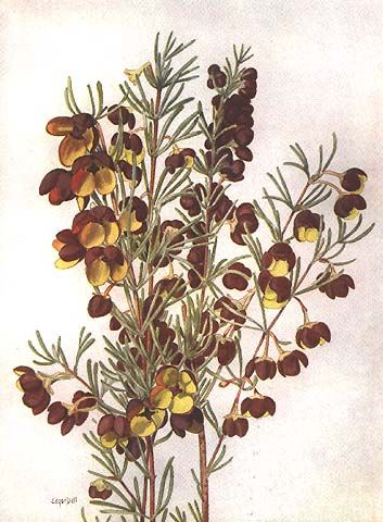 Boronia megastigma: Brown Boronia family: Rutaceae artist: Edgar Dell (1901- 2008) from: 'West Australian Wildflowers' (1935) text by C A Gardner West Australian Newspapers Ltd