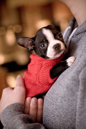 Little Red, French Bulldogs, Baby Sweaters, Pets, Baby Dogs, Baby Puppies, Little Dogs, Boston Terriers Puppies, Animal