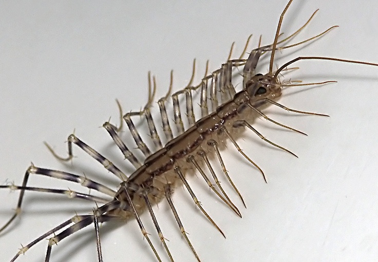 how to get rid of house centipedes without chemicals