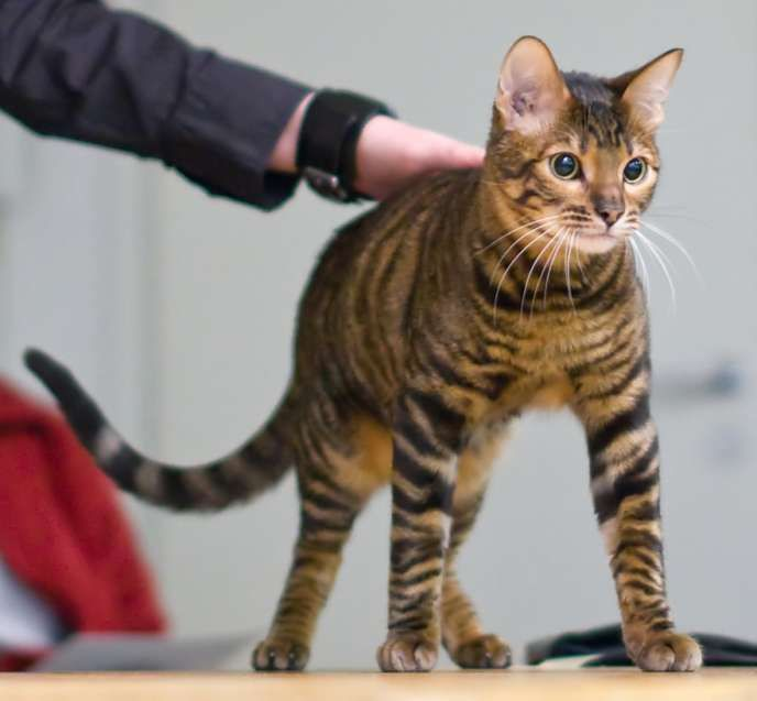 Hybrid Animals Toyger A Person Named Judy Sugden Created This Breed Its A Mix Between A Shorthaired Tabby Cat Rare Cats Toyger Cat Cat Breeds With Pictures
