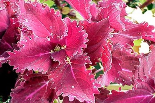 Red Ruffles - Rosy Dawn Gardens  Coleus 'Red Ruffles' (medium; upright)  Velvety, heavily-ruffled leaves are deep brick-red.This customer favorite grows wide and blousy and can really make a statement! Sun tolerant.