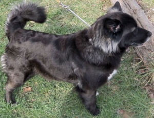 Bella is an adoptable Akita Dog in Scio, OH. Bella is a beautiful mixed breed gal. Our vet suspects she is a mixture of Akita, Australian Shepherd, Border Collie and/or Golden Retriever. She weighed...