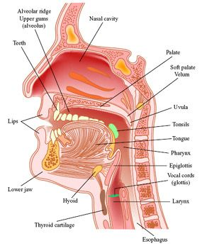 anatomy of mouth/throat: this diagram will be a big help when trying to teach/tell students how to voice or not voice, put their tongues in certain areas of the mouth, and various other English-specific speaking traits.