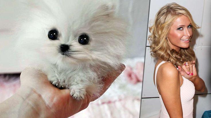 """MR. AMAZING"" IST NUR 10 ZENTIMETER GROSS Paris Hiltons Mini-Hund kostet 10 000 Euro"
