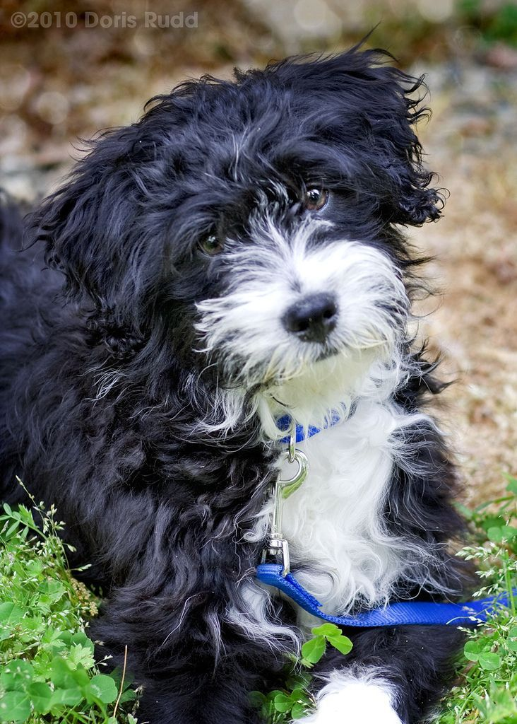 Best 25+ Portuguese water dog ideas on Pinterest ...