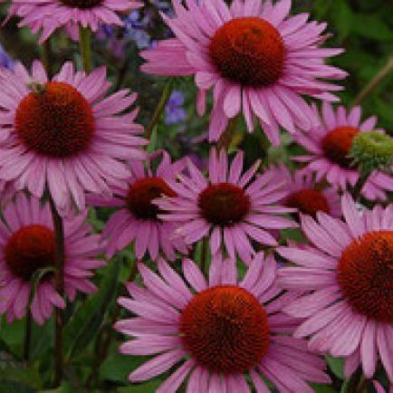 Scheinsonnenhut Echinacea purpurea 'Rosenelfe'