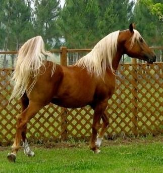 FC Casino Royale, Chestnut Arabian with flaxen mane and tail.  These flaxen chestnuts are not palominos and do not carry the dilution gene. Lovely color.