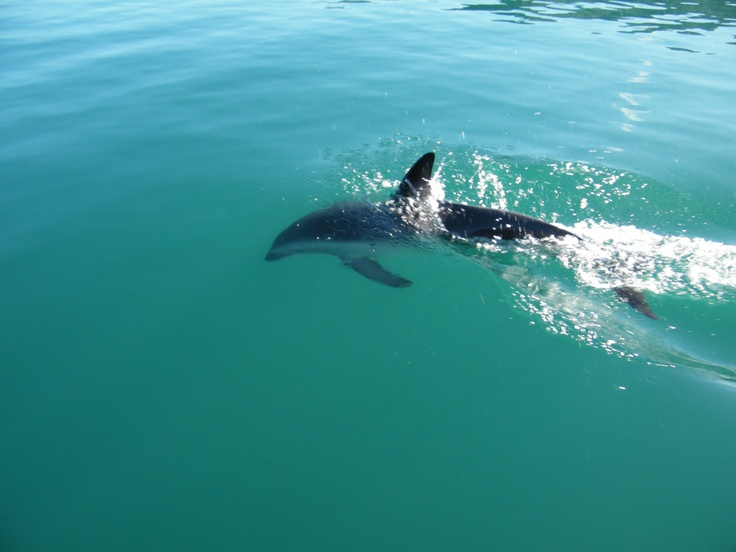 Dolphins in the Queen Charlotte Sounds