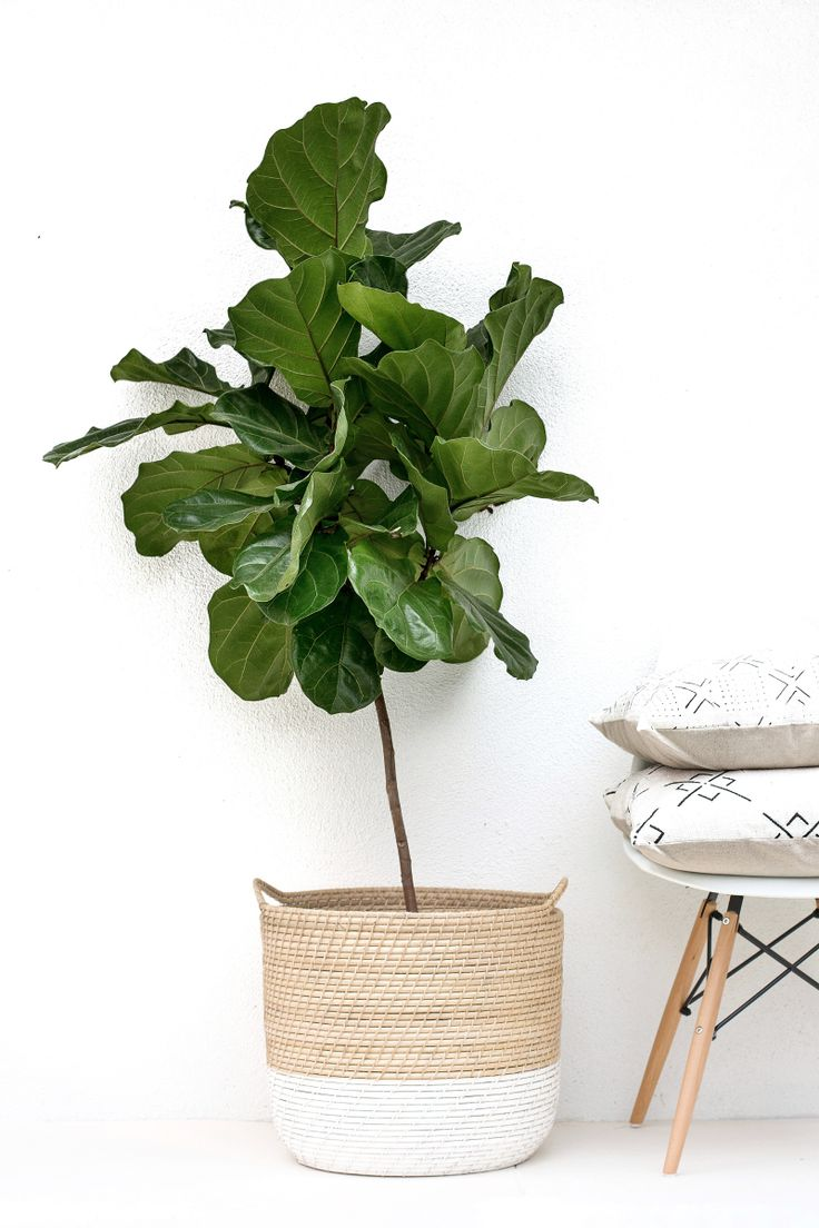 Noa and Jack, Meet the Fiddle Leaf Fig