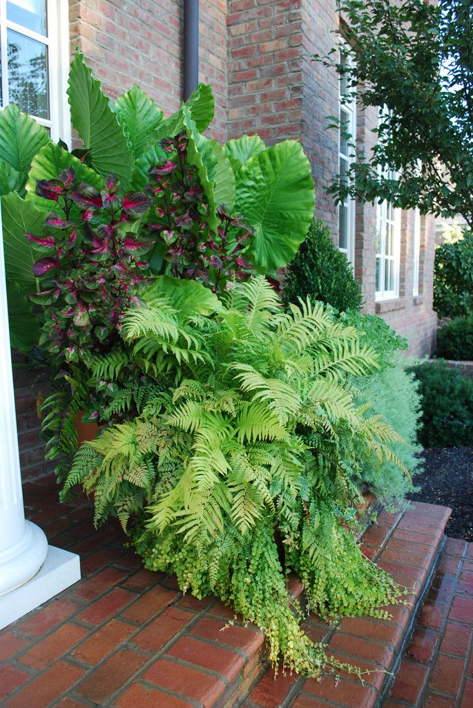 17 best images about ferns on pinterest plants for dry shade maidenhair fern and ferns - Tropical container garden ...