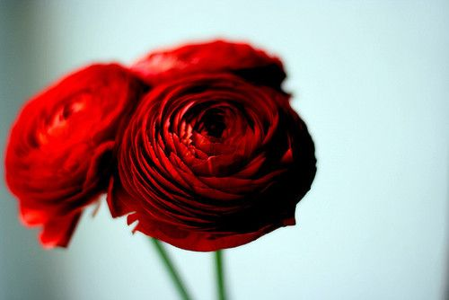 [red ranunculus-fun alternative to roses; will if these fit anywhere with other floral choices, most likely not]