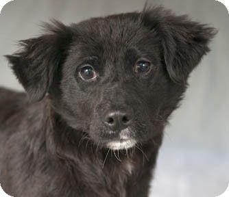 Chicago, IL - Border Collie/Australian Shepherd Mix. Meet Jinx a Puppy for Adoption.