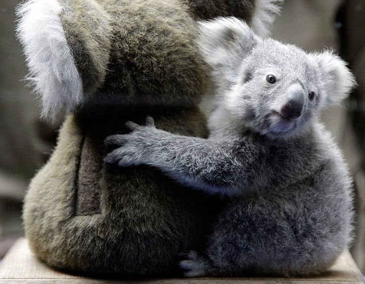 Koala baby hugging a stuffed toy in the German zoo. photo by Frank Augstein/AP Photo